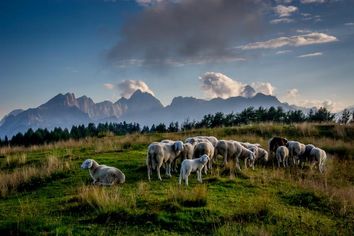 Allein in Tirol wurden bis Ende August 2021 mehr als 300 Schafe von Wölfen gerissen. - Foto: iStock/smerin